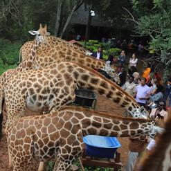 Giraffe_Centre_Nairobi-6.jpg