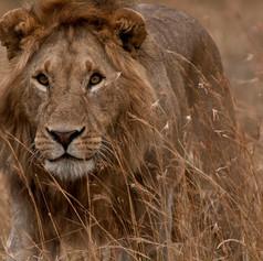 Loin-Kenya_safari.jpg