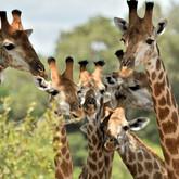animal-giraffe-baby-animal-wildlife.jpg