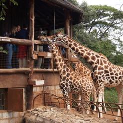 Giraffe_Centre_Nairobi-2.jpg