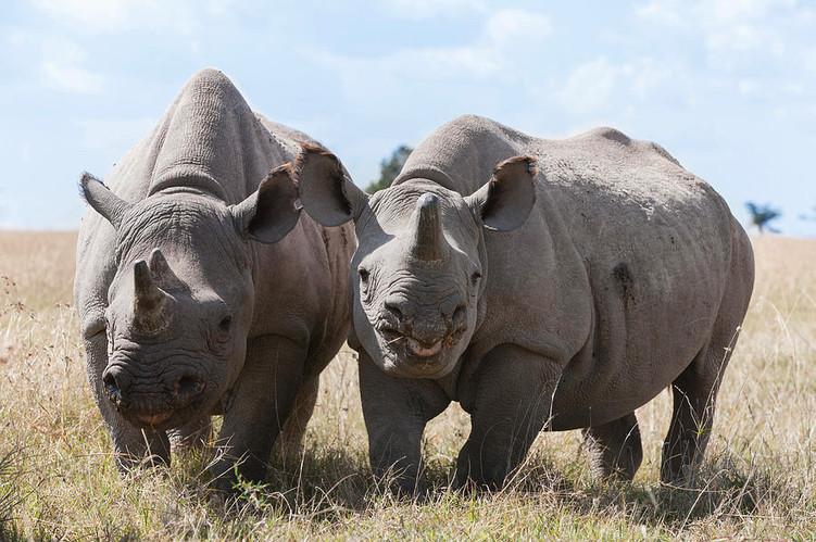 rhino-ol-pejeta-conservancy-safari-Kenya
