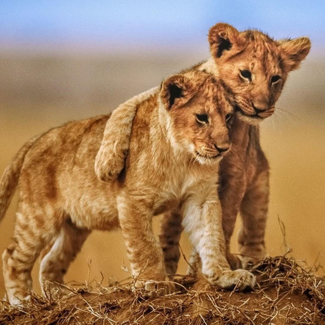 wildlife-lion-cubs.jpg