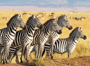 Giraffe_Safari.jpg