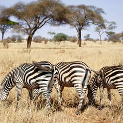 Kenya_Safari_Zebra's-1.jpg