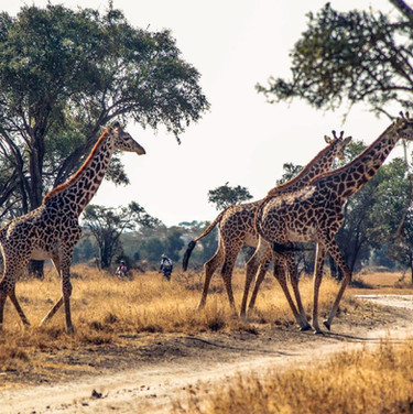 SansaTavel_Giraffes.jpg