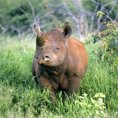 Kenya_Beyond_WildlifeBlackRhino.jpg