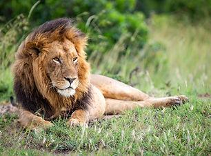 Lion-Kenya-Safari-Sansatravel.jpg