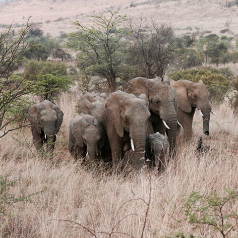 Kenya_Safari_Elephants-1.jpg