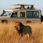 Lion_Safari_game_drive_kenya_sansatravel