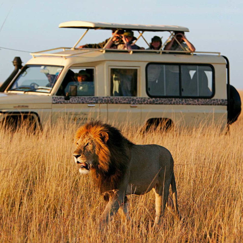 Lion_Safari_game_drive_kenya_sansatravel