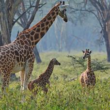 Giraffes-at-Lake-Nakuru-National-Park_Ke