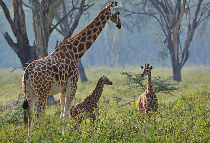 Giraffes-at-Lake-Nakuru-National-Park_Ke