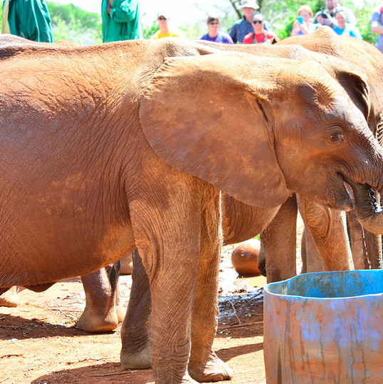David_Sheldrick's_elephant orphanage_Nai