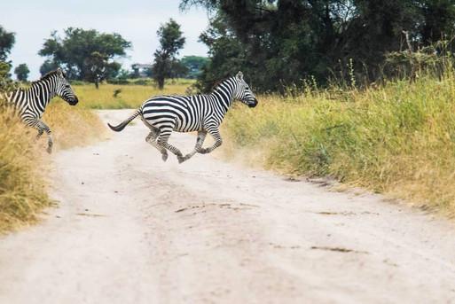 SansaTravel_zebras_crossing.jpg