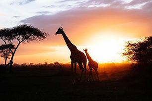 giraffes-silhouettes-cub-couple.jpg