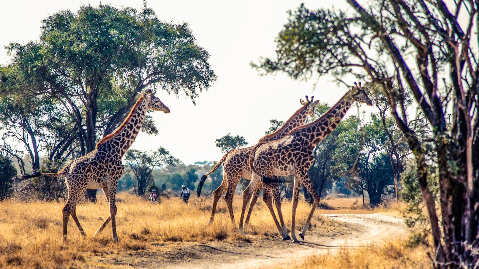 Giraffes_Crossing.jpg