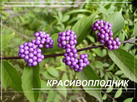 Калликарпа или Красивоплодник