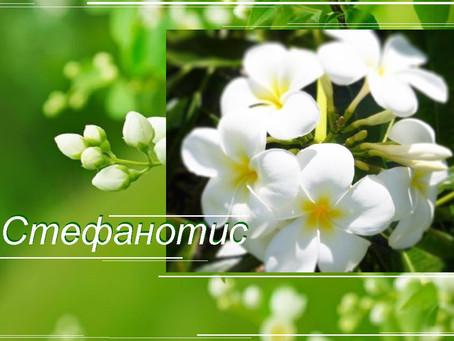 Стефанотис – лиана жасмина из Мадагаскара