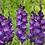Thumbnail: Гладиолус Виолетта