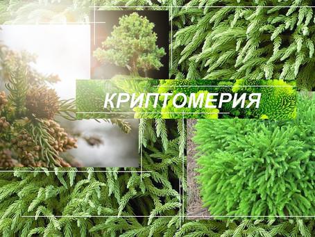 Криптомерия – реликт в саду для медитаций