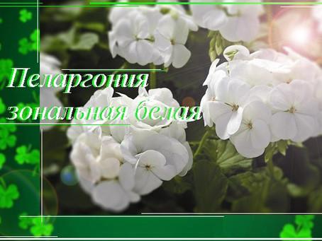 Пеларгония зональная белая