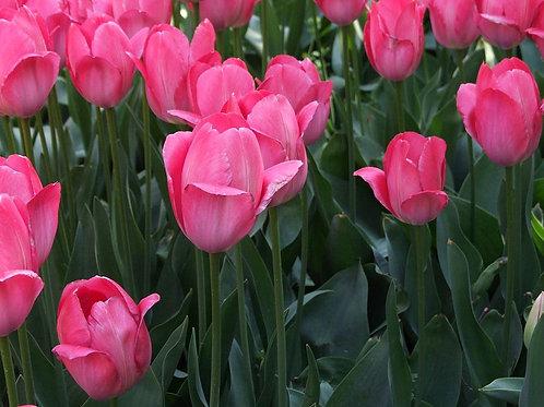 Смесь тюльпанов Дарвиновых гибридов