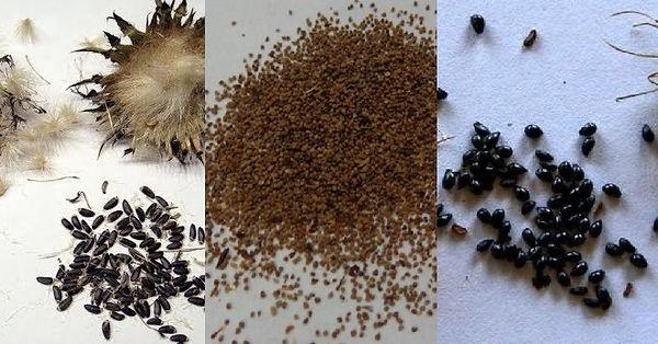 семена астры кустарниковой .jpg