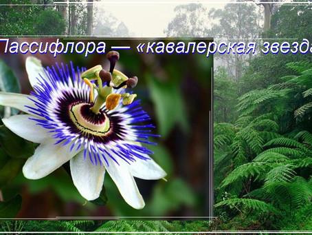 Пассифлора — «кавалерская звезда»