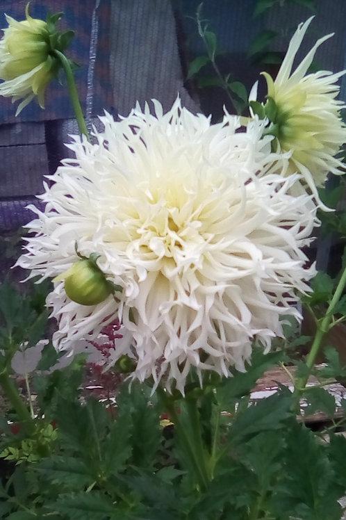Георгин кактусовидный Май лав