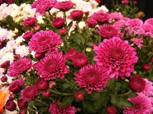 Хризантема корейсеая Розовая осень