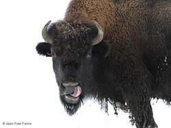 2016-01-18 Bison ferme de l'Auroch (2)