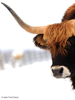 2016-01-18 highland  ferme de l'Auroch (