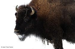 2016-01-18 Bison ferme de l'Auroch (3)