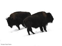 2016-01-18 Bison ferme de l'Auroch (6)