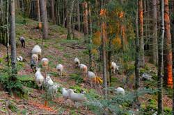 20190815 Moutons sur Trélarce