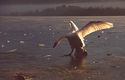 20041208 Lac des cygnes
