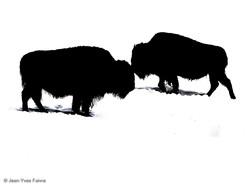 2016-01-18 Bison ferme de l'Auroch (5)