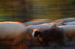 20190815 Un mouton noirTrélarce
