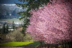 hillside view plum blossom tree.jpg