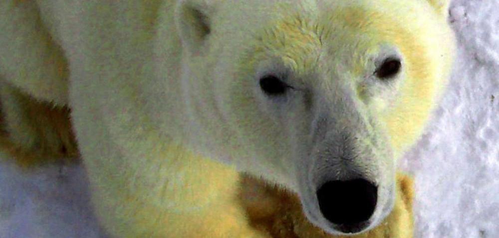 Eisbärenlüge