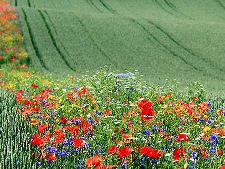 Blühstreifen machen es möglich - Weniger Schädlinge ohne Pestizide