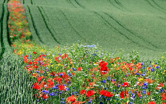 Blühstreifen gegen Glyphosat Monsanto