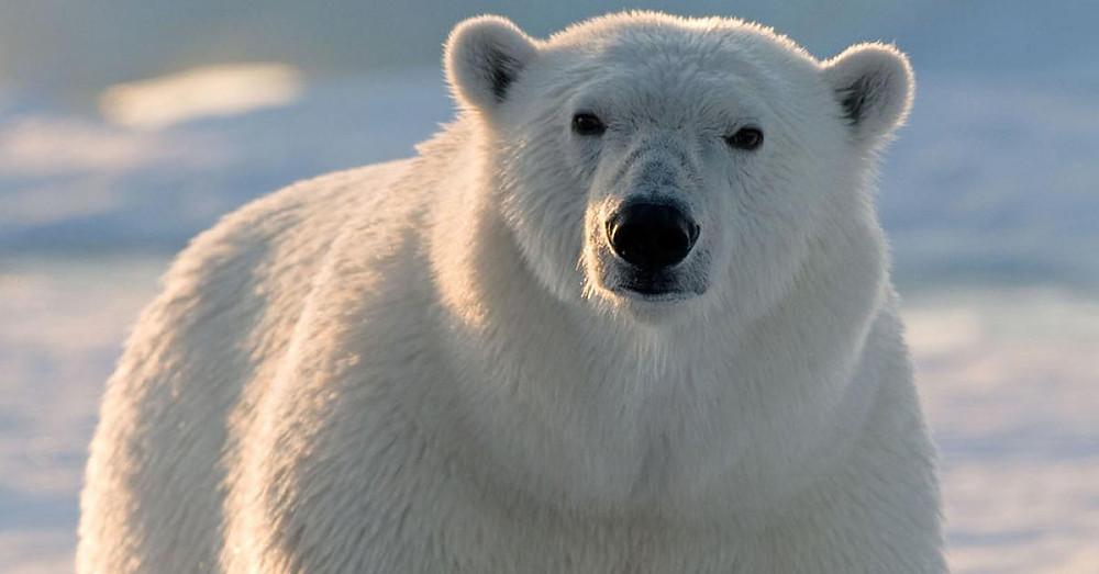 Eisbärenpopulation Eisbären Pulation wächst zunahme