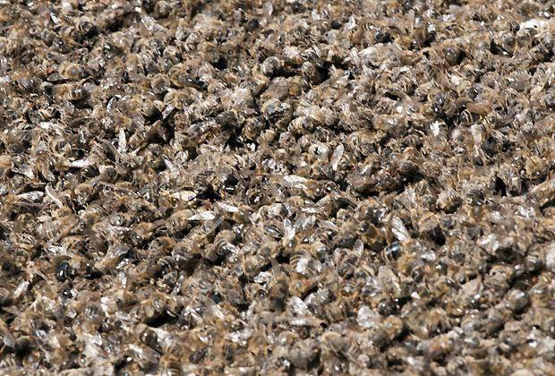 Massensterben Bienen Chemtrails