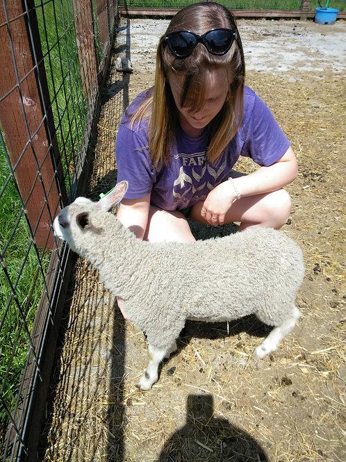 Ewe Lamb - HF's Goodie