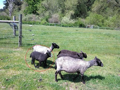 Ewe Lamb - HF's Gumdrop