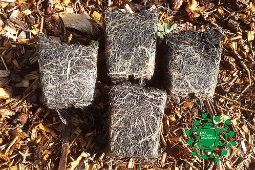 Cascade x4 Hop Plant Pack