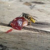 Jammy wasp...