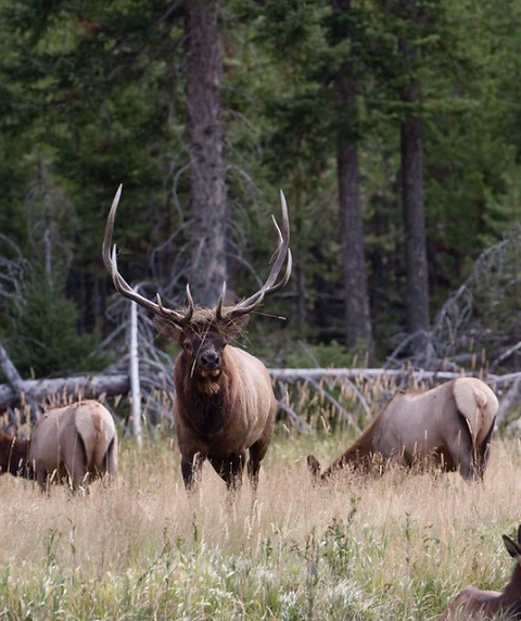 Elk1.png
