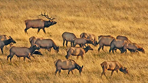 bull-elk066-herd-Bynum-e1471379631956-11
